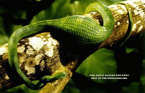 A green snake has eaten an egg as part of zoo's Easter marketing campaign